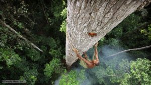 A Bayaka tribesman climbs a huge emergent tree to reach the most sought after of jungle foods – honey