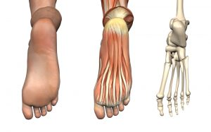 anatomical_overlay_foot_shutterstock_4254454